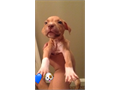 I have pitbull puppies for sale 2 male red ones  1 male tiger stripped  1 females she chocolate I