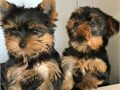 Male and female teacup Pups for sale They are up to date on shots and will come to their new family