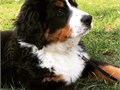 cute  Bernese Mountain mountain dog puppies for adoptionfor more info about this cute puppies conta