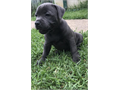 Staffy Puppies Ready well socialized with kids 706-406-8223