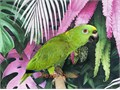 Beautiful Yellow Nape Amazon Parrot for 2400 Now Shipping Nationwide USA No Emails Please For Se