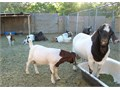 Gorgeous Playful Goats for Sale Different Ages  Colors Available Great Milkers and Meat Goats