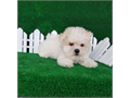 Adorable teddy bear look  round face Maltipoo  male Curly hair  Up to date on shots  And deworm