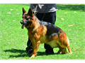German Shepherd Imported Germany Fido Von Modithor v323893-2379 Puppies Sire Schumann Von T