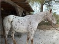 15 yr young 15hh Leopard App gelding Trail horse not for timid or beginner riders Sweet boy with
