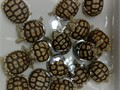 Sulcata Tortoise Babies Available Guaranteed Healthy and eating well These get huge being the 3rd
