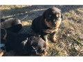Rottweiler Puppies ReadyFor more infos and pics TEXT US HERE 424 276-2492