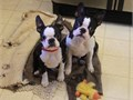 BOSTON TERRIER Our puppies are very well trained and will be coming with all paper work together wi