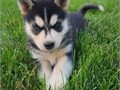 Awesome Huskies Pups BoyGirls  10weeks old  vaccinated and come papers interested Textcall 510