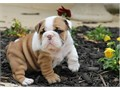 ready to go now male and female english bulldog 12 weeks call or text 443-489-6921