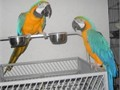 Macaws need new homesthree amazing macaws need a new home due to hardship These beautiful crea