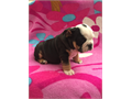 Fathers Day perfect giftAKC English Bulldog puppies 1 male and 1 female Available Both are blac