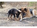 German Shepherd Male Female Large  80000 Akc registered german shepherd pups excellent blood