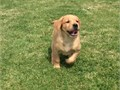 Labrador Retriever ready to go to their forever homes Very sweethand raised b
