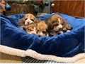 Stunning Beautiful Beagle Puppies very adorable and Playful Both males and Females available Text