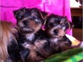 Short legs Yorkshire Terrier pups male and female is really cute 9 week old short noses and bodie