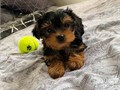 Beautiful Yorkie puppies just turned 12 weeks and are now ready to meet their ne