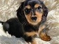 Pure Dachshund AKC Pups for more info and pics contact us now at 205 346-7638