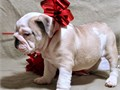 Red and white bulldog puppy Very affectionate and playful Working on potty tra