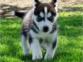 Male and female Siberian husky puppies available They are very healthy and have all heath papers Gre