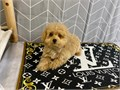 Teddybear maltipoo puppies for sale2 sets of vaccination and canine corona  bordetella deworm