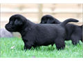 We have a beautiful male and female with wonderful temperament from this lovely litter We are