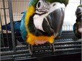 Beautiful Blue and Gold Macaws tame 16 months oldThese are our family pets