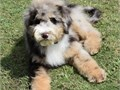 Sheepadoodle pups available 2 rare Merles one male and one female and a beautiful white male with