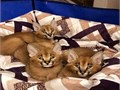 Our kittens are all home raised accustomed to children other pets and guaranteed friendly Our lit
