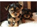 TEXT TO 612 517-0269 I have 3 beautiful Yorkie puppies ready to go to a loving and caring home Th