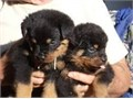 Rottweiler puppies available Been wormed and micro-chipped I bought these puppies from Ireland I
