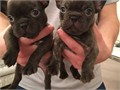 We have a littler of KC chocolate brindle frenchie puppies available Dam is our family pet Pop she
