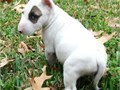 Miniature Bull Terrier Male Female Small  70000 The puppies come in various colors They are