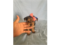 Teddy bear face Yorkie teacup puppies Vet checked  up-to-date on shots Pee pad and crate trained