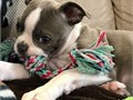 Adorable cute female Boston Terrier puppy available ready to go  Feel free to text or call fo