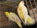 Breeding Pair of Lutino Red Rumps 2 yrs old  Excellent feather  healthTemecula