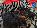 Yorkie male Pups CKC REG 35000 each for sale will be ready June 25th taking dep now 5000 Phone