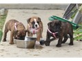 Olde English Bulldogge Puppies for SaleCurrently 8 weeks old 5 Females currently available  IOE
