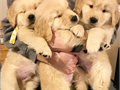 Puppies for saleGolden retrievers are well trained in my home they shall come along with all pape