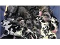 Great Dane puppies healthy male and female 1 213534-8874