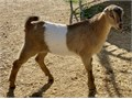 ADGA Registered Lamancha buck kids These two boys carry their B and will make great herd sires Ba