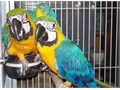 Macaw  50000 they have all their documents and have been vaccinated by age and they are in perfe
