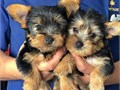 male and female yorkie puppies They are vet checked and vaccinated as well as dewormed 3 each pupp
