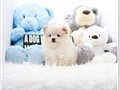 Top quality Pomeranian puppies for sale near La area From the healthiest cutest looking parents s