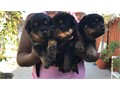 AKC German Rottweiler pups available Champion pedigree Accepting deposits now on this excellent li