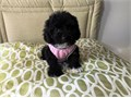 Lily is a Female maltipoo pup Shes dainty and elegant Shes waiting for someone to take her home