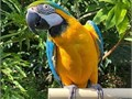 With a broken heart we need to find a new home for our beloved parrot Roy is an absolutely wonderf