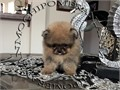 AKC Teacup Orange Female Pomeranian Gorgeous Teddy Bear face Huge thick coat nice tail and ears s