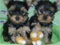 They come with full AKC Registrationwe only breed show quality temperament and healthy puppies Our