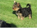 Outgoing playful and intelligent yorkie for sale Comes complete with dog crate toys and a leash T